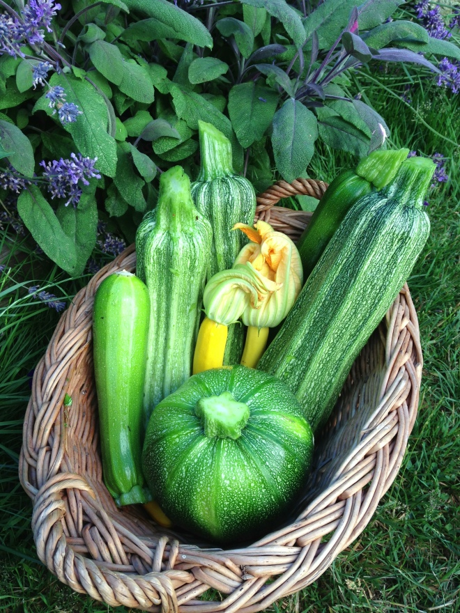 Zucchini Medley from the blockbuster harvest this summer. Shown are yellow and green as well as Eight Ball and Costata Romanesco