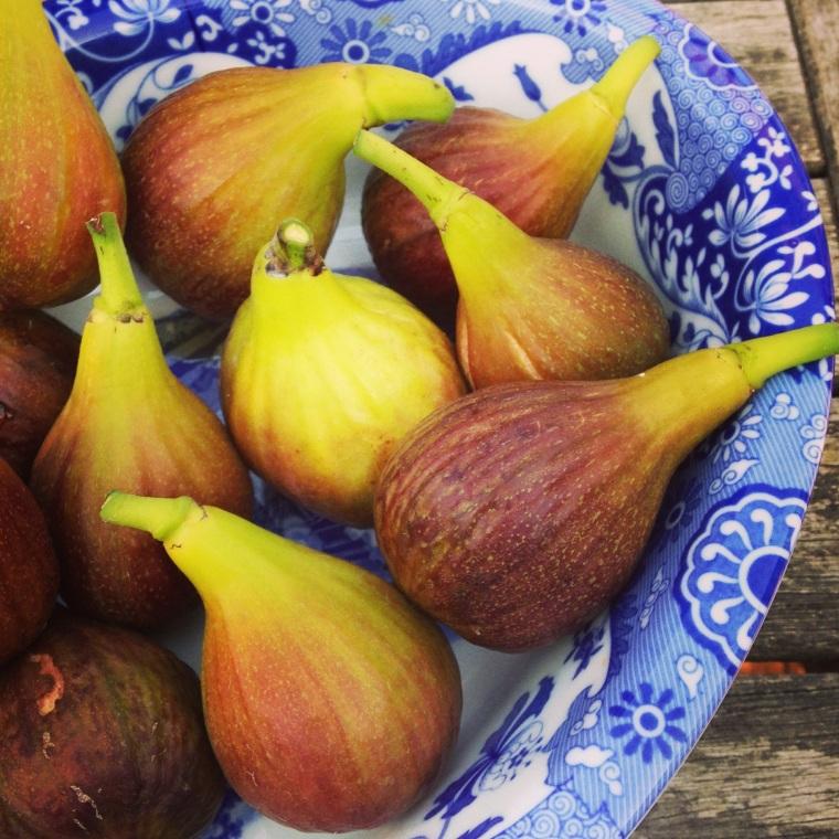 Fig Harvest 2015